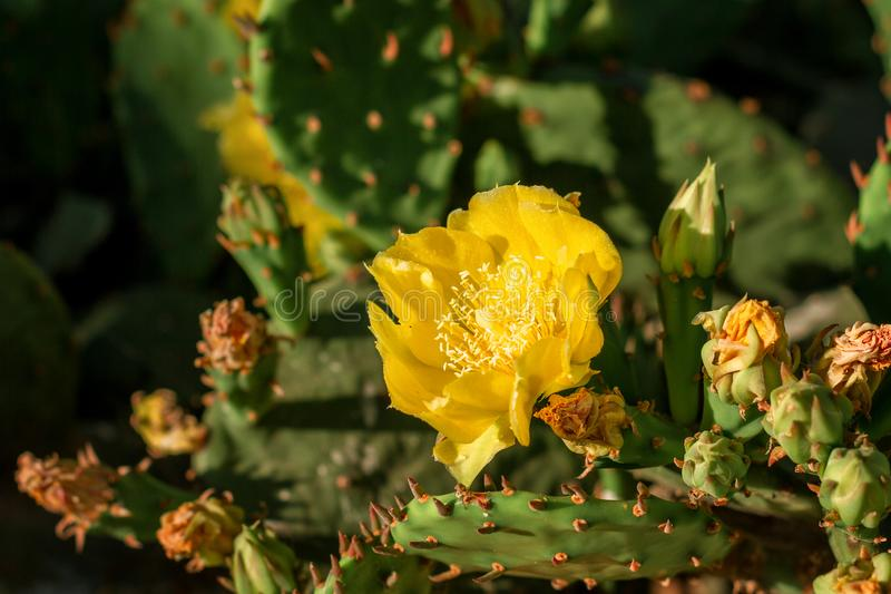 De gele bloemen op een cactus zijn het bloeien heldere kleur stock afbeelding