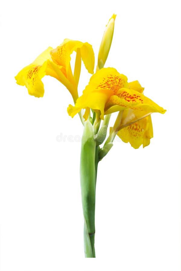 De gele bloemen van de cannalelie op witte achtergrond royalty-vrije stock fotografie