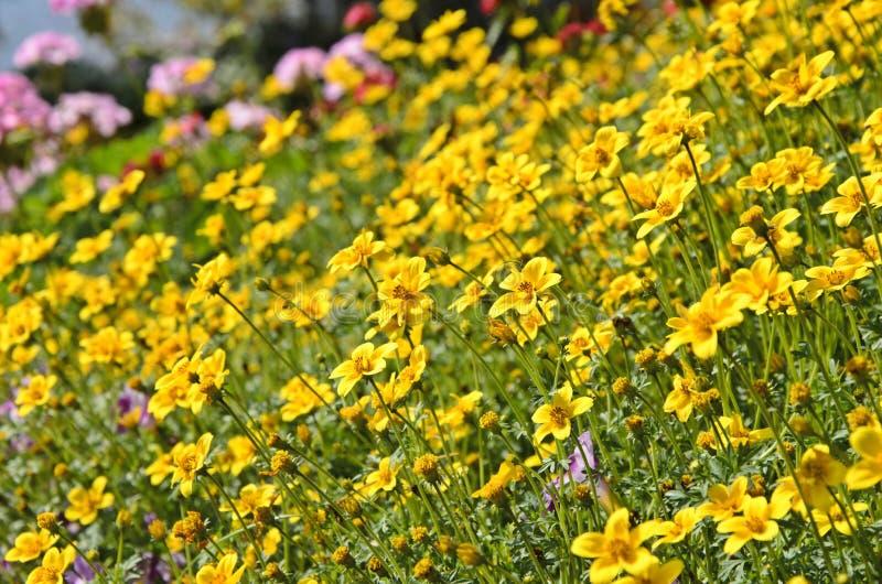 De gele bloemen van de tuinkosmos stock fotografie