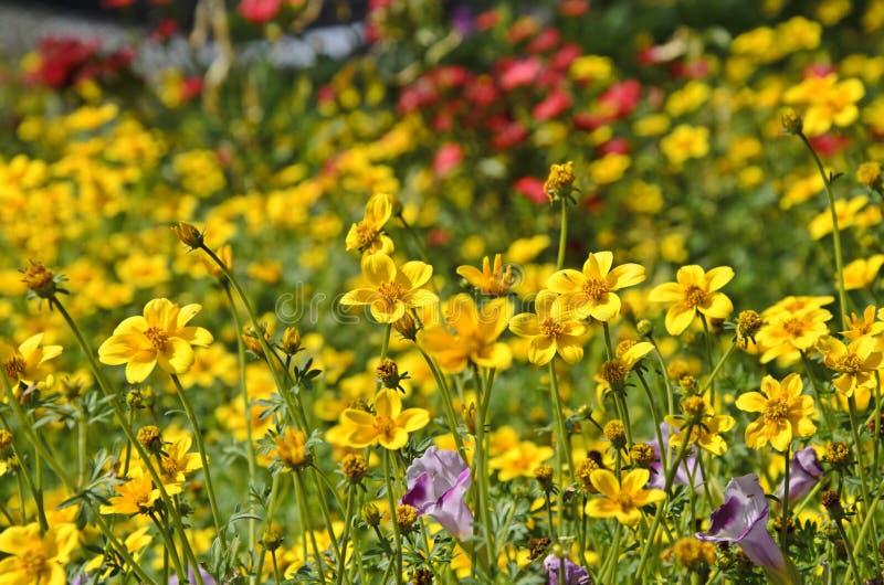 De gele bloemen van de tuinkosmos royalty-vrije stock foto