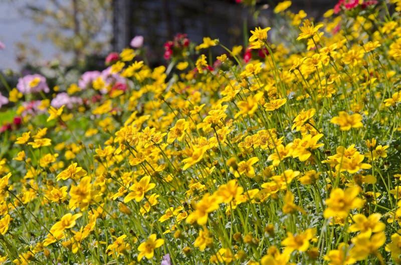De gele bloemen van de tuinkosmos royalty-vrije stock foto's