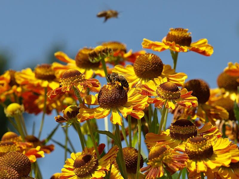 De gele bloemen van het niesgeluidonkruid met een vliegende bij royalty-vrije stock foto