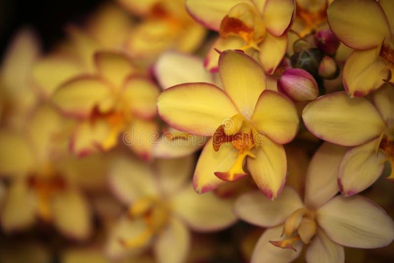 De Gele bloemen van Mello van de Spathoglottisorchidee stock afbeeldingen