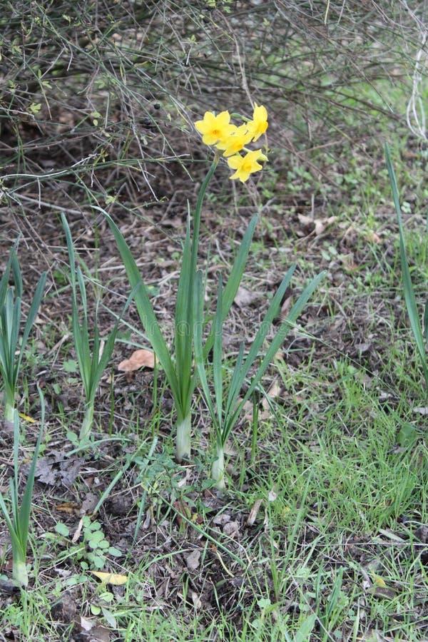 De gele bloemen van Narcissen royalty-vrije stock foto's