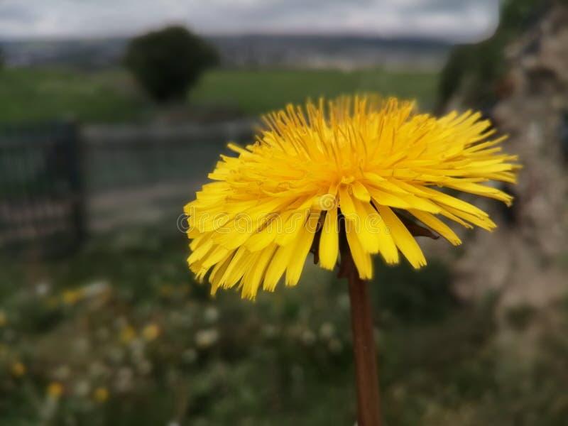 De gele bloemlente het UK stock afbeeldingen