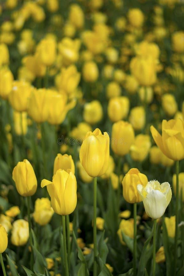 De gele bloesem van de Tulpenbloem stock foto's