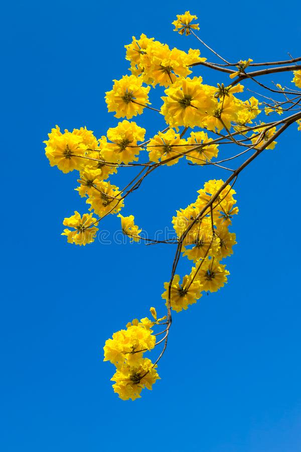 De gele bloesem van tabebuiabloemen op de blauwe hemelachtergrond royalty-vrije stock afbeelding