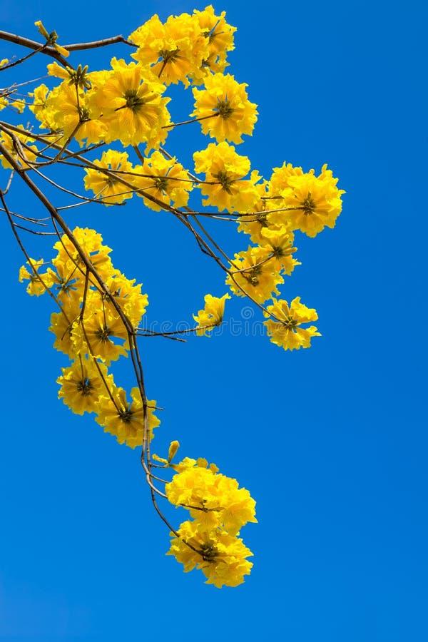 De gele bloesem van tabebuiabloemen op de blauwe hemelachtergrond royalty-vrije stock fotografie