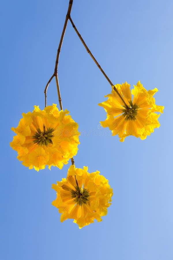 De gele bloesem van tabebuiabloemen op de blauwe hemelachtergrond royalty-vrije stock afbeeldingen