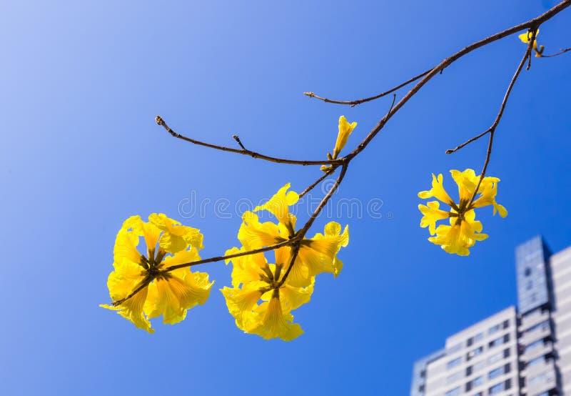 De gele bloesem van tabebuiabloemen op de blauwe hemelachtergrond royalty-vrije stock foto's