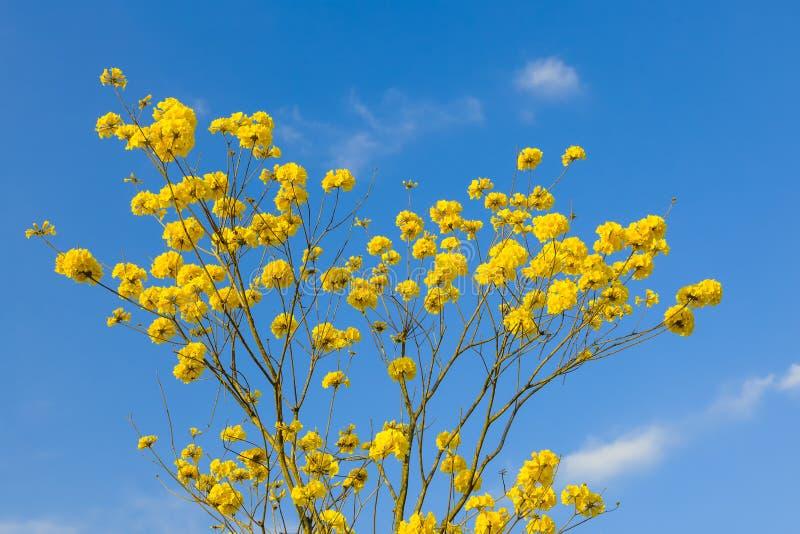 De gele bloesem van tabebuiabloemen op de blauwe hemelachtergrond stock foto