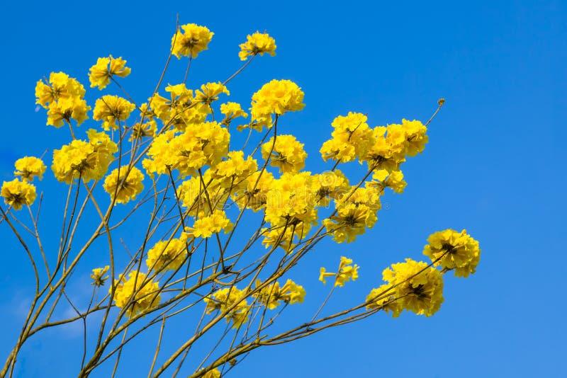 De gele bloesem van tabebuiabloemen op de blauwe hemelachtergrond stock foto's