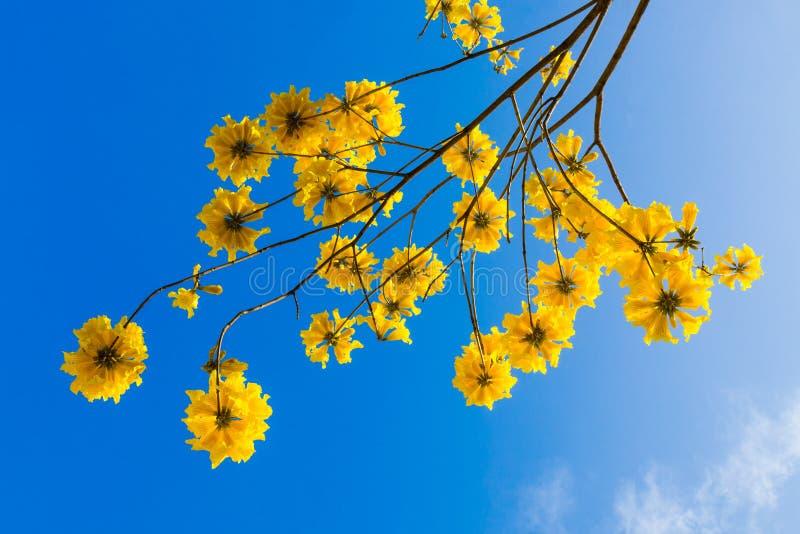 De gele bloesem van tabebuiabloemen op de blauwe hemelachtergrond stock afbeelding