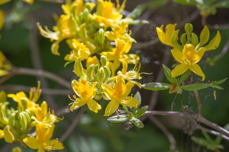 De gele bloesems van de rododendronboom op een tak royalty-vrije stock fotografie