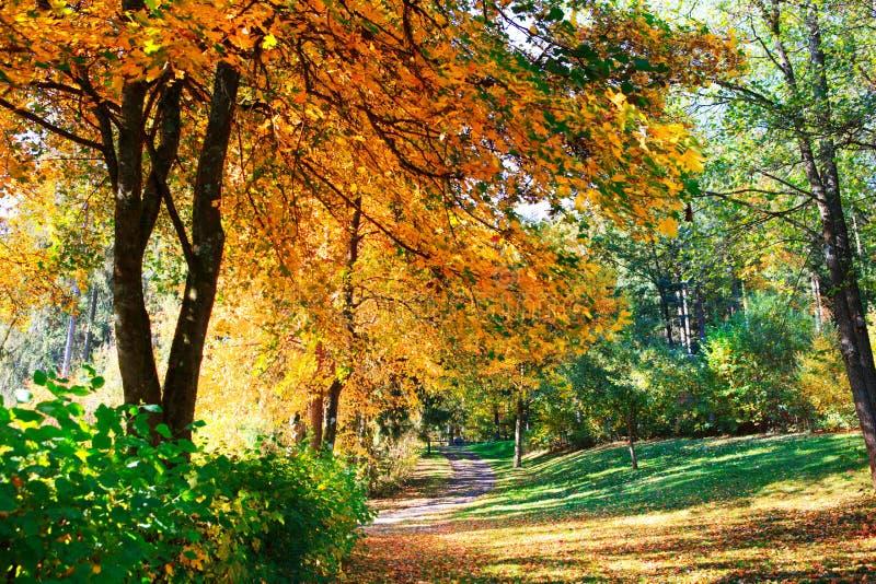 De gele boom van de de herfstesdoorn in het stadspark Autumn Landscape stock afbeeldingen