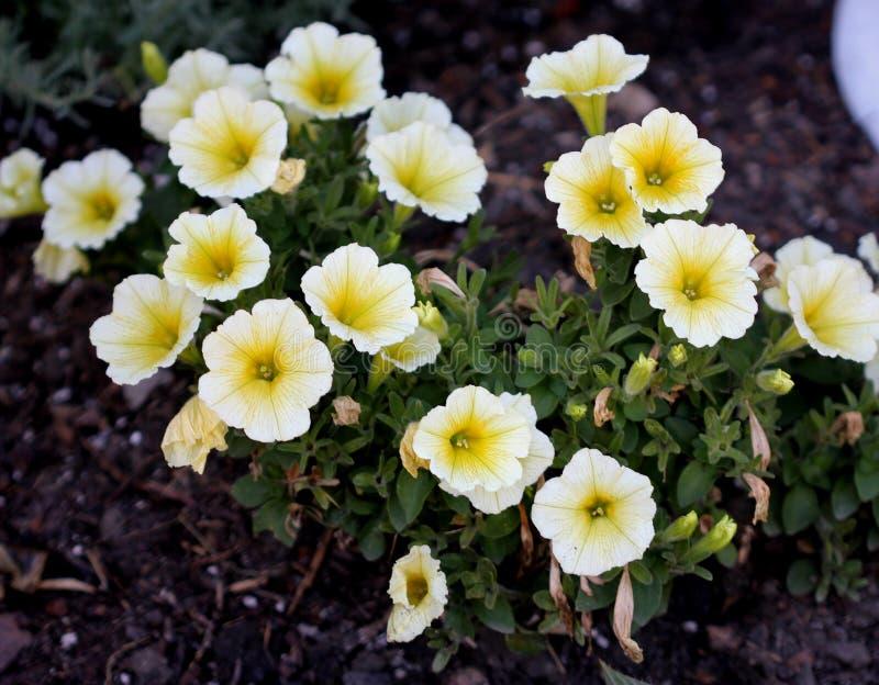 De 'Gele Chiffon van Superbells' van Calibrachoaparviflora stock foto's