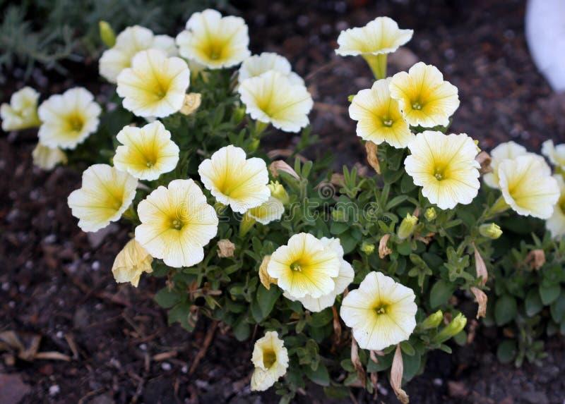De 'Gele Chiffon van Superbells' van Calibrachoaparviflora royalty-vrije stock fotografie