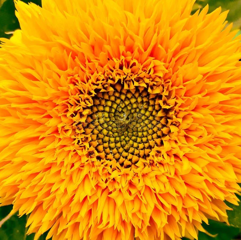 de gele cirkel is de zon de zonnebloem stock foto