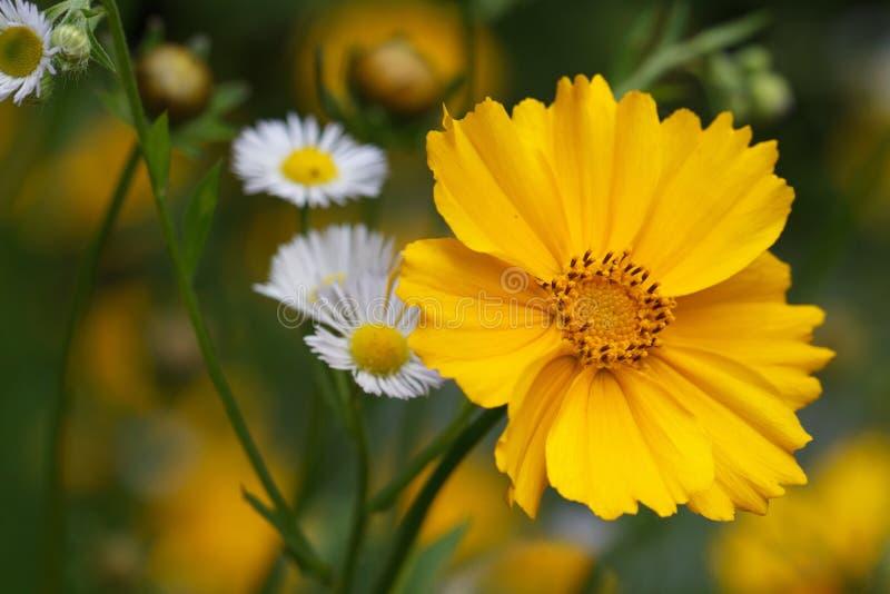 De gele close-up van de coreopsisbloem op een achtergrond van wilde bloemen royalty-vrije stock fotografie
