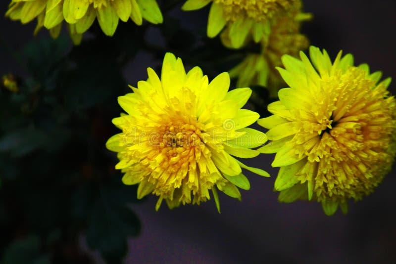 De gele Close-up van de Zonbloem royalty-vrije stock foto