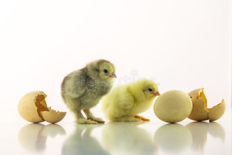 De gele en grijze pasgeboren kuikens wachten op het uitbroeden van het derde Kleine kip twee op een witte achtergrond onder stock foto's