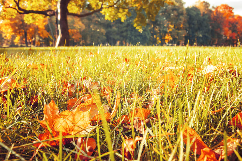 De gele en oranje droge bladeren van de de herfstesdoorn op het gazon in de herfstpark royalty-vrije stock foto's