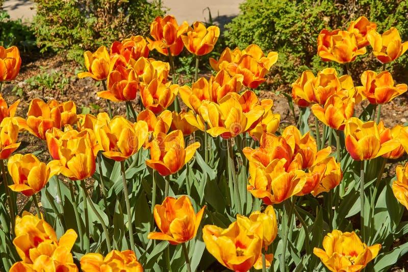 De gele en Rode tulpen in de lente bloeien prachtig in de tuin, bloemachtergrond royalty-vrije stock afbeelding