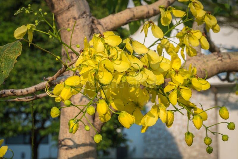 """De gele genoemde bloemen """"Golden douche tree† stock fotografie"""