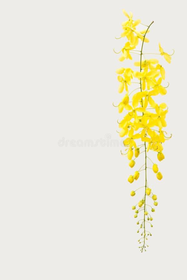 De gele Gouden douche, de bloem van de Kassieboomfistel isoleert op witte bac stock foto's