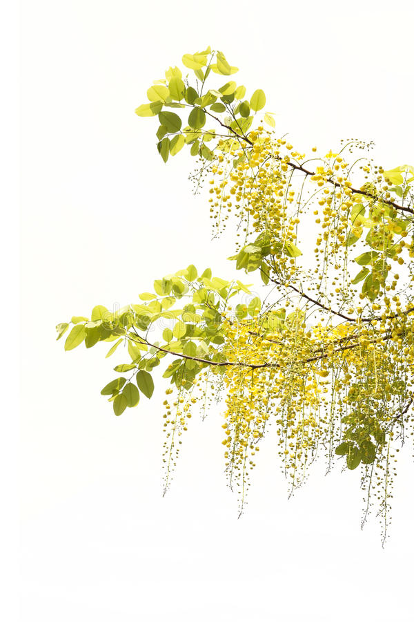 De gele Gouden douche, de bloem van de Kassieboomfistel isoleert op witte bac royalty-vrije stock fotografie