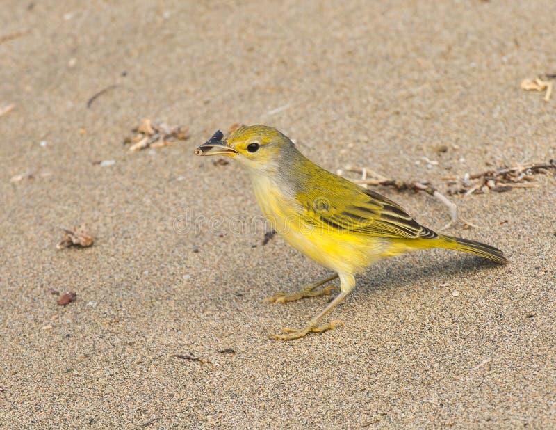 De Gele Grasmus van de Galapagos stock afbeelding