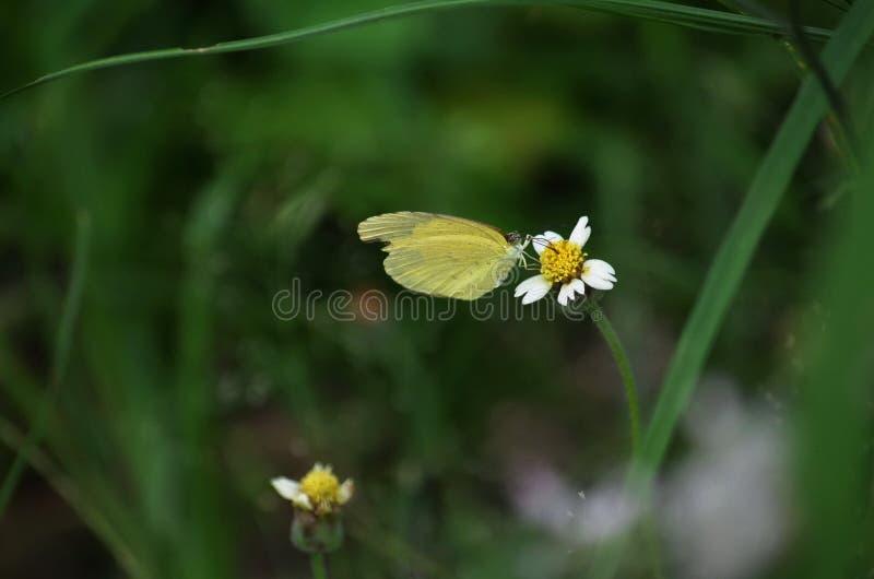 De gele Grasvlinder streek op een witte en gele wildflower van Shaggy Soldier in Thailand neer stock afbeeldingen