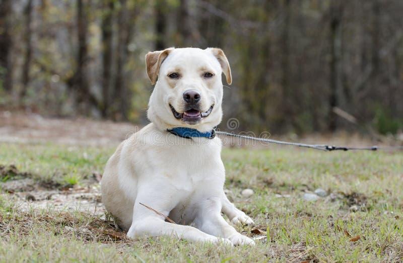 De gele hond van het Laboratorium Chinese Shar Pei gemengde ras royalty-vrije stock afbeeldingen