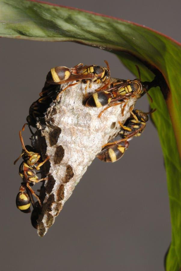 De gele jasjewesp beschermt een nest tegen prooi royalty-vrije stock fotografie