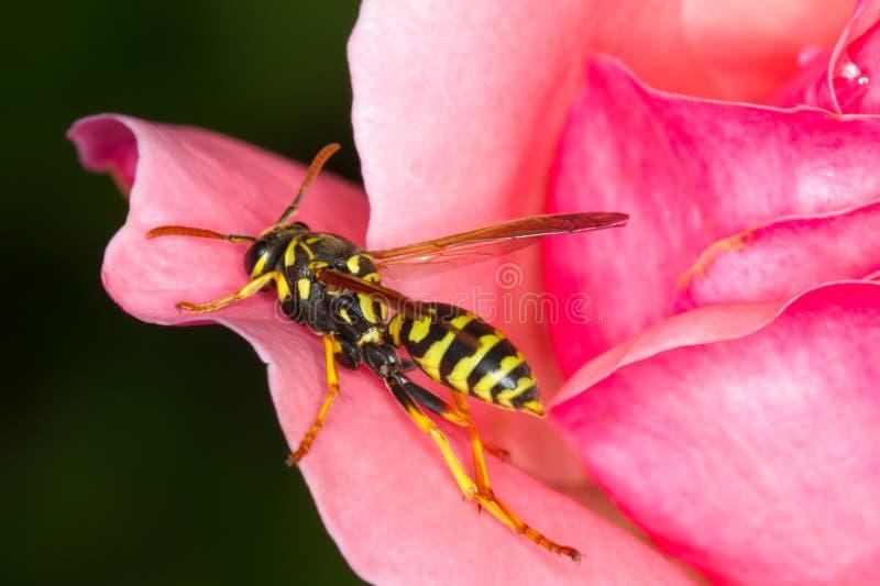 De gele jasjewesp op roze nam toe stock afbeeldingen
