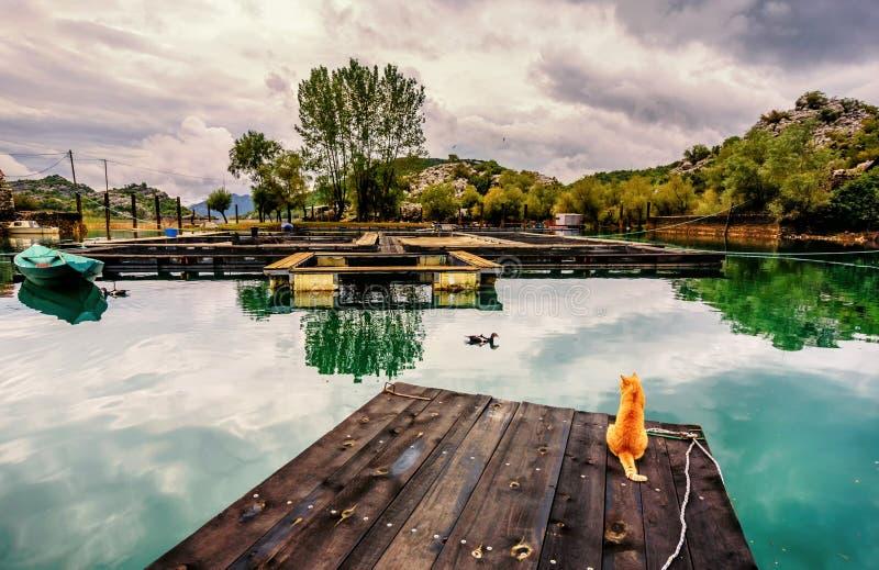 De gele kat het letten op eenden gaan door de viskwekerij in Karuc, Skadar stock fotografie