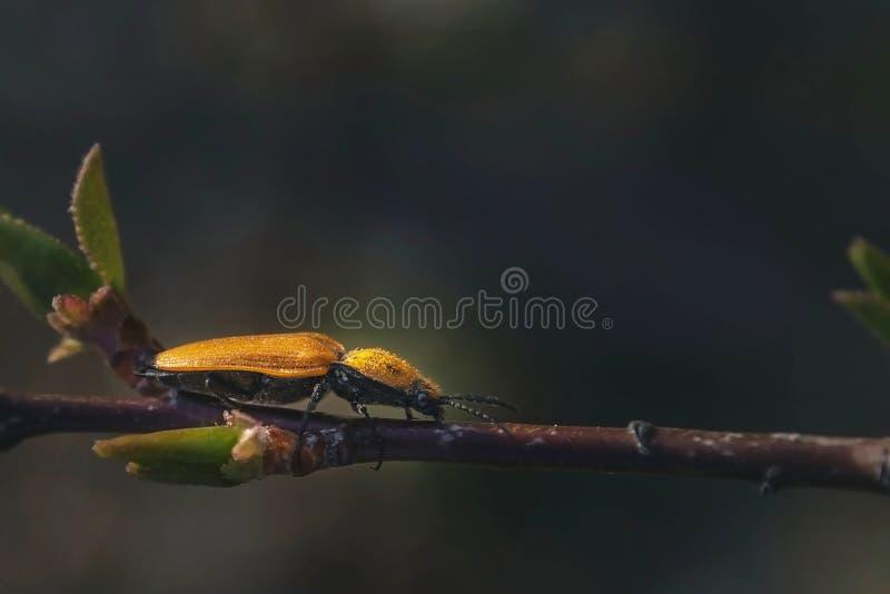 De gele kever op de tak kijkt dicht stock foto