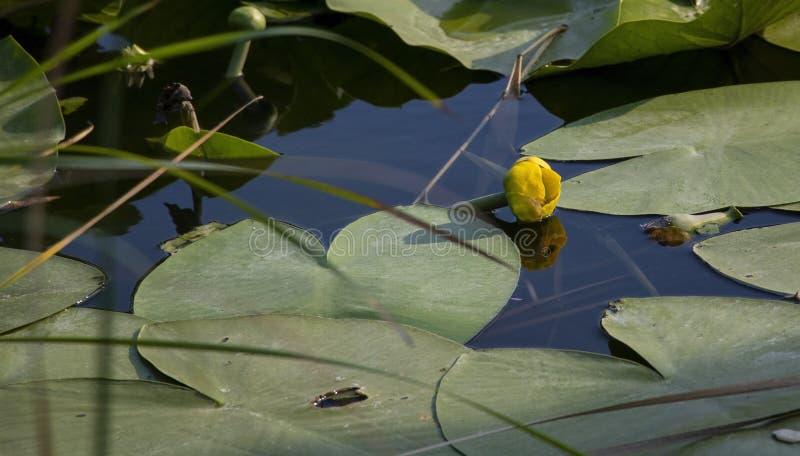 De gele kleine mooie bloem van de waterleliebloem stock fotografie