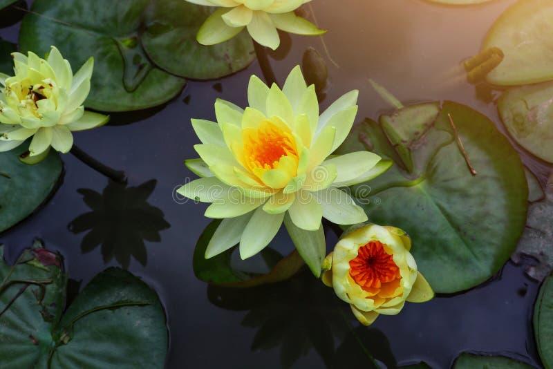 De gele lotusbloembloemen worden geplant in de vijver en in de mooie gele botanische tuin van de lotusbloembloem goed gehandhaafd stock foto's
