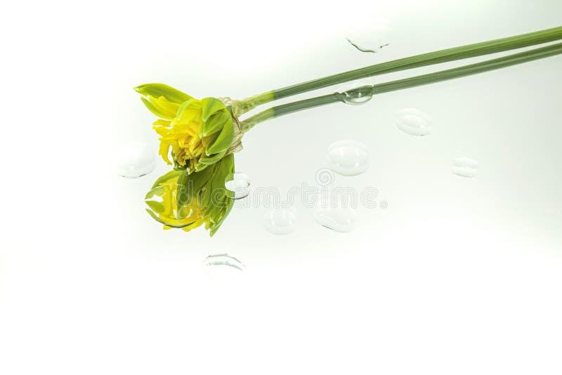 De gele gele narcis dacht horizontaal in spiegel met dalingen van water op witte achtergrond na royalty-vrije stock fotografie