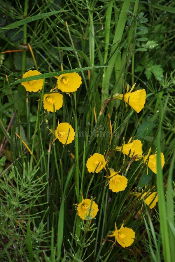 De gele narcis van de hoepelrok stock afbeelding
