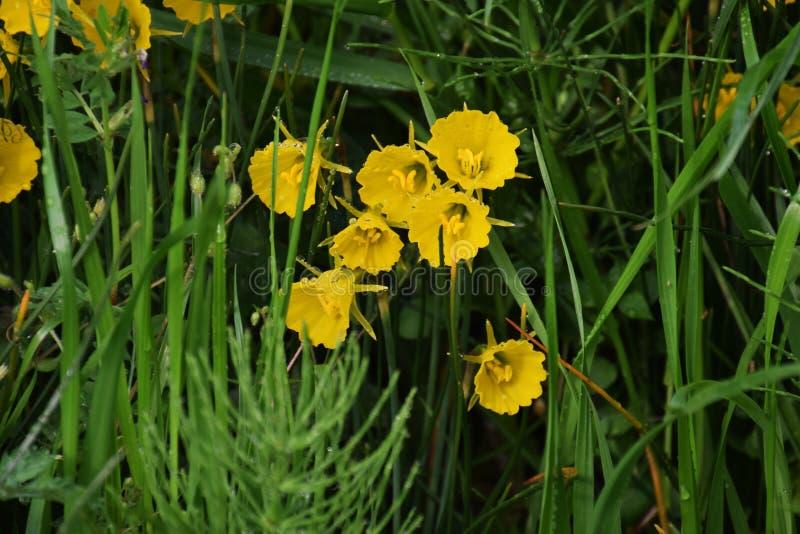 De gele narcis van de hoepelrok stock fotografie