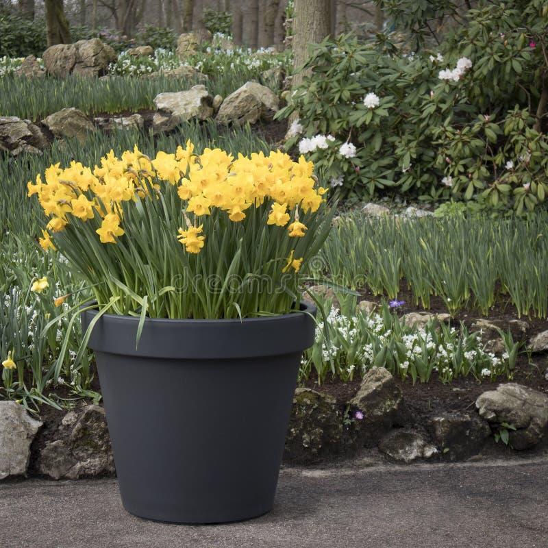 De Gele gele narcissen in een plastic ton tegen een achtergrond van bomen in een botanische tuin in Keukenhof stock afbeelding