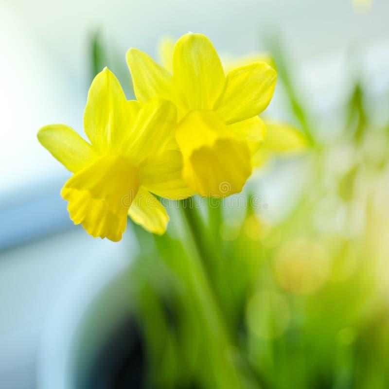 De Gele narcissen van de lente stock foto's