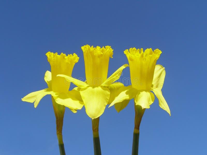 De gele narcissen van Pasen royalty-vrije stock foto