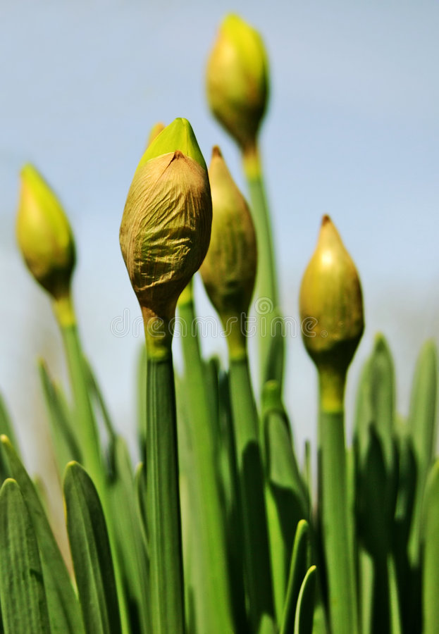 De Gele Narcissen Van Pasen Beginnen In De Lente Te Bloeien Stock Fotografie
