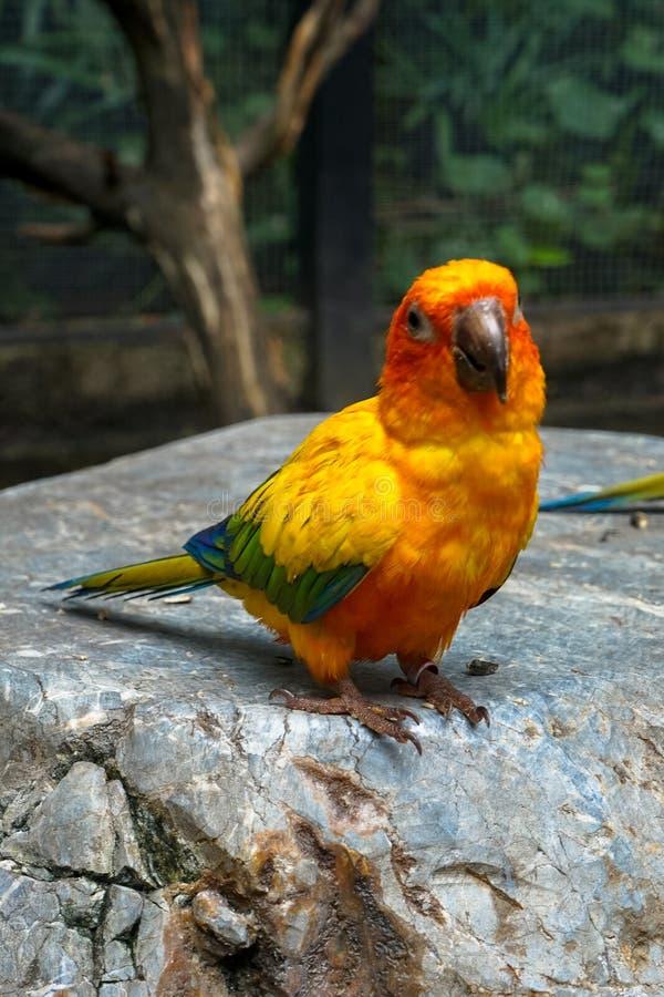 De gele, oranje, blauwe en groene kleurenpapegaai bevindt zich op r royalty-vrije stock foto