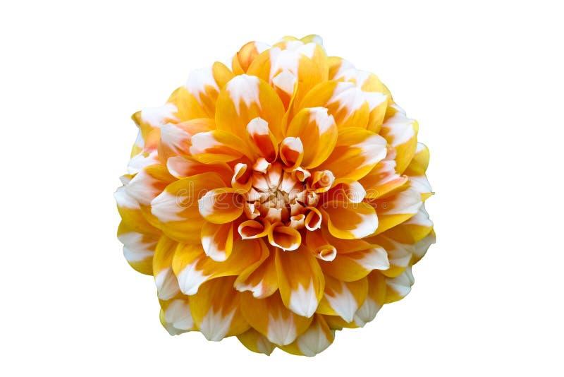 De gele, oranje en witte macrofoto van de dahliabloem Bloem op een naadloze witte achtergrond wordt geïsoleerd die stock foto