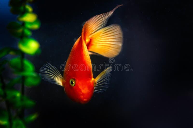 De gele, oranje vissen van goudviskoi in donker water stock afbeelding