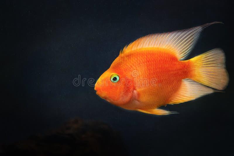 De gele, oranje vissen van goudviskoi in water royalty-vrije stock foto